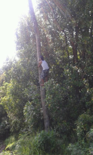 Climbing coconut tree in Sekumpul Village