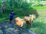 daily-actvities-of-local-people-in-sekumpul-village-bali-jungle-trekking