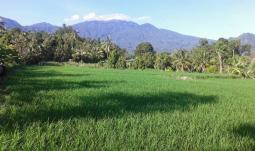 Rice terrace in sekumpul village