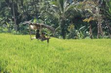 sekumpul-rice-field-trek-bali-jungle-trekking