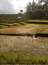 bali rice field trekking tour