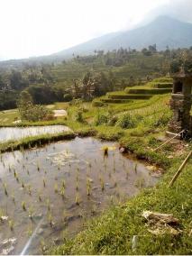 best rice field in Bali