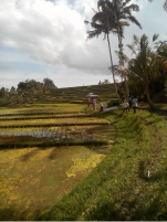 hiking tour to Jatiluwih rice terrace with Bali Jungle Trekking Guide