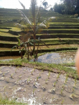 Jatiluwih rice terrace trekking tour with Bali Jungle Trekking Guide