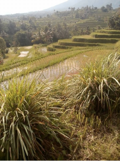 Trekking to Jatiluwih rice terrace with Bali Jungle Trekking Guide