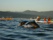 dolphin-tour-at-lovina-beach