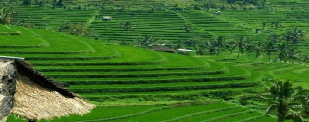 Jatiluwih Rice Terrace One Of Unesco World Heritages Bali Jungle