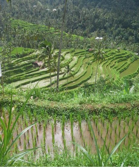 Rice Terrace View in SekumpulVillage