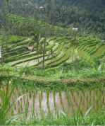 Rice Terrace View in Sekumpul Village