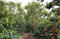 walking-thru-tropical-coffee-plantation-with-bali-jungle-treking