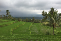 Green rice field at Mayong Village Bali