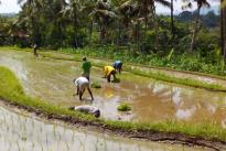 Rice field at mayong village